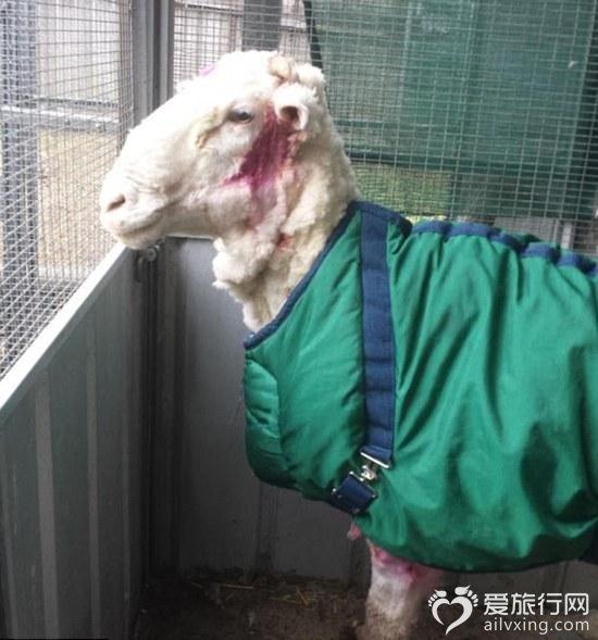 神奇的绵羊剪毛后