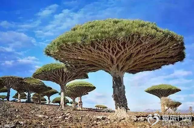 龍血樹也門索科特拉島