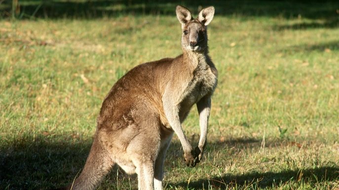 澳大利亞大袋鼠.jpg